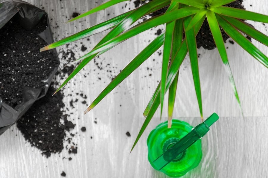 Common Dracaena problems, pest and diseases and how to deal with them