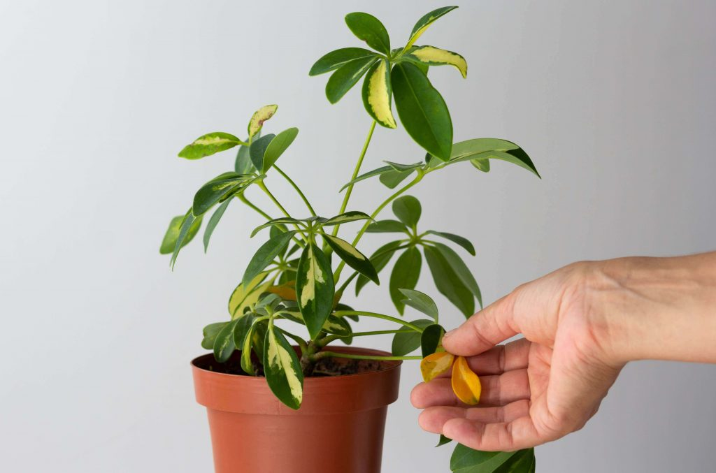 Common Umbrella Plant Problems, Pests and Diseases