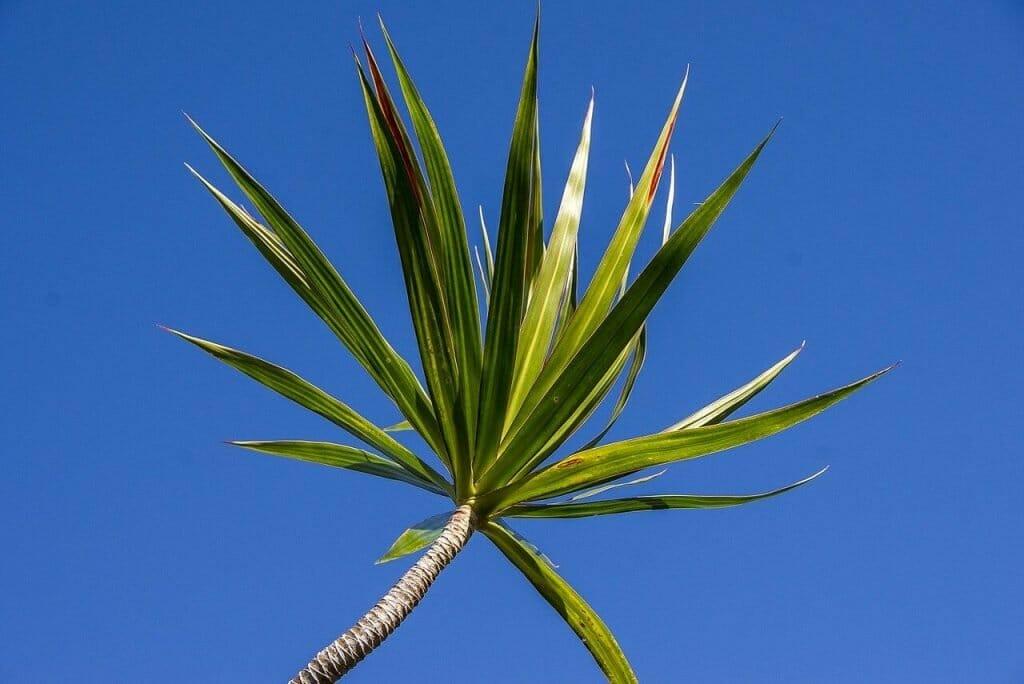 Corn Plant Meaning & Symbolism