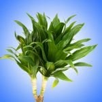 12 Best Dracaena Plants to Grow at Home
