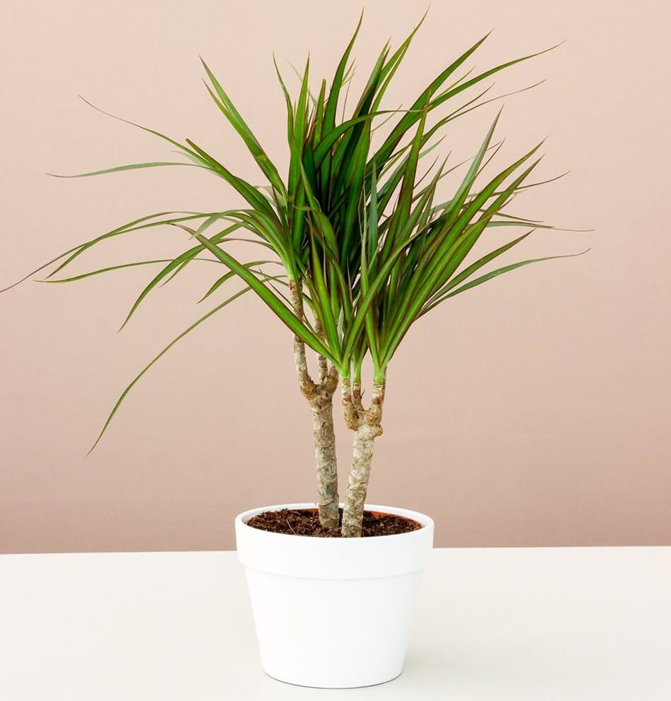 Dracaena Maringata for sale at Lively Root