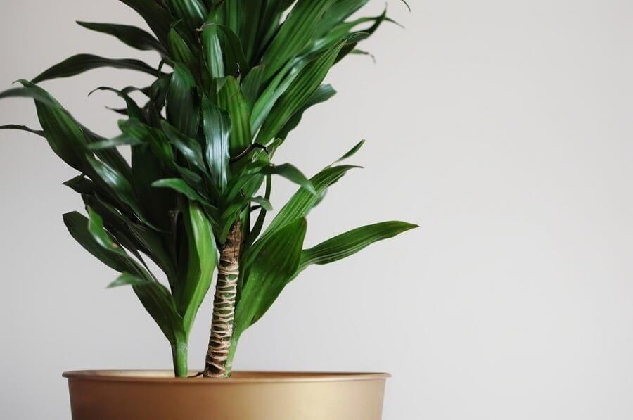 Dracaena Plants meaning and symbolism