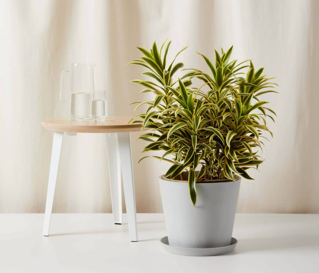Dracaena Reflexa Song of India for Sale at Bloomscape