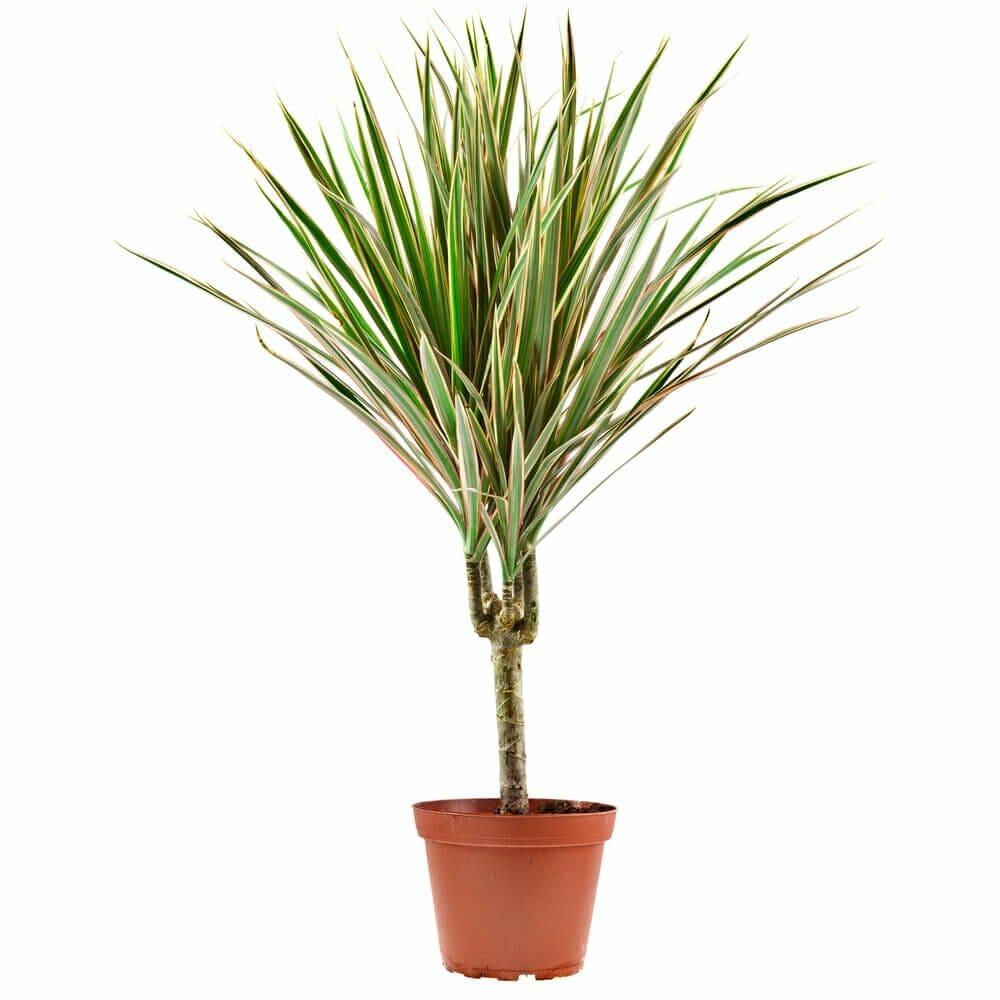 Dracaena arborea plants