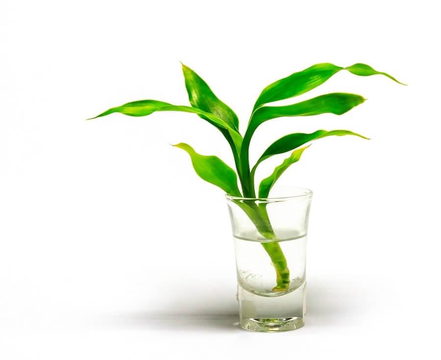 Dracaena braunii plants