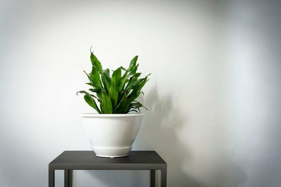 Dracaena deremensis plants