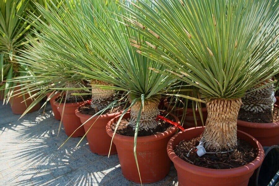 Dracaena draco plants