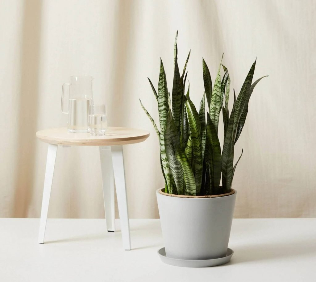 Dracaena-trifasciata-for-sale-at-Bloomscape
