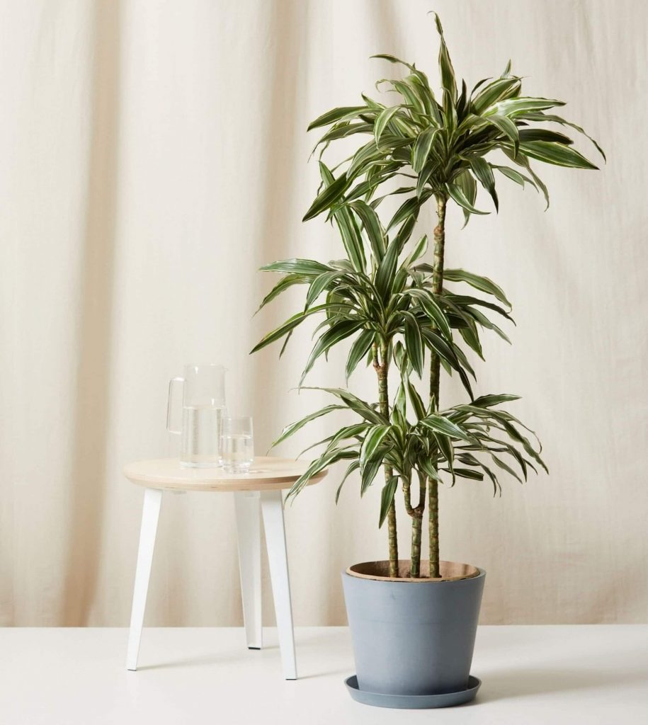 Dracaena warneckii from Bloomscape