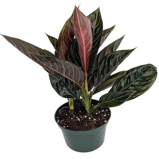 Garden Goods Direct Chinese Evergreen Plants for Sale