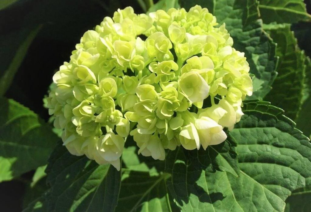 Green Hydrangea Flower Meaning and Symbolism