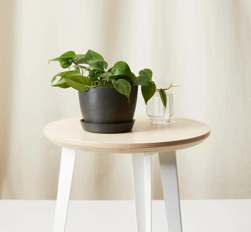 Hearleaf-Philodendron-Plant-Delivery-at-Bloomscape