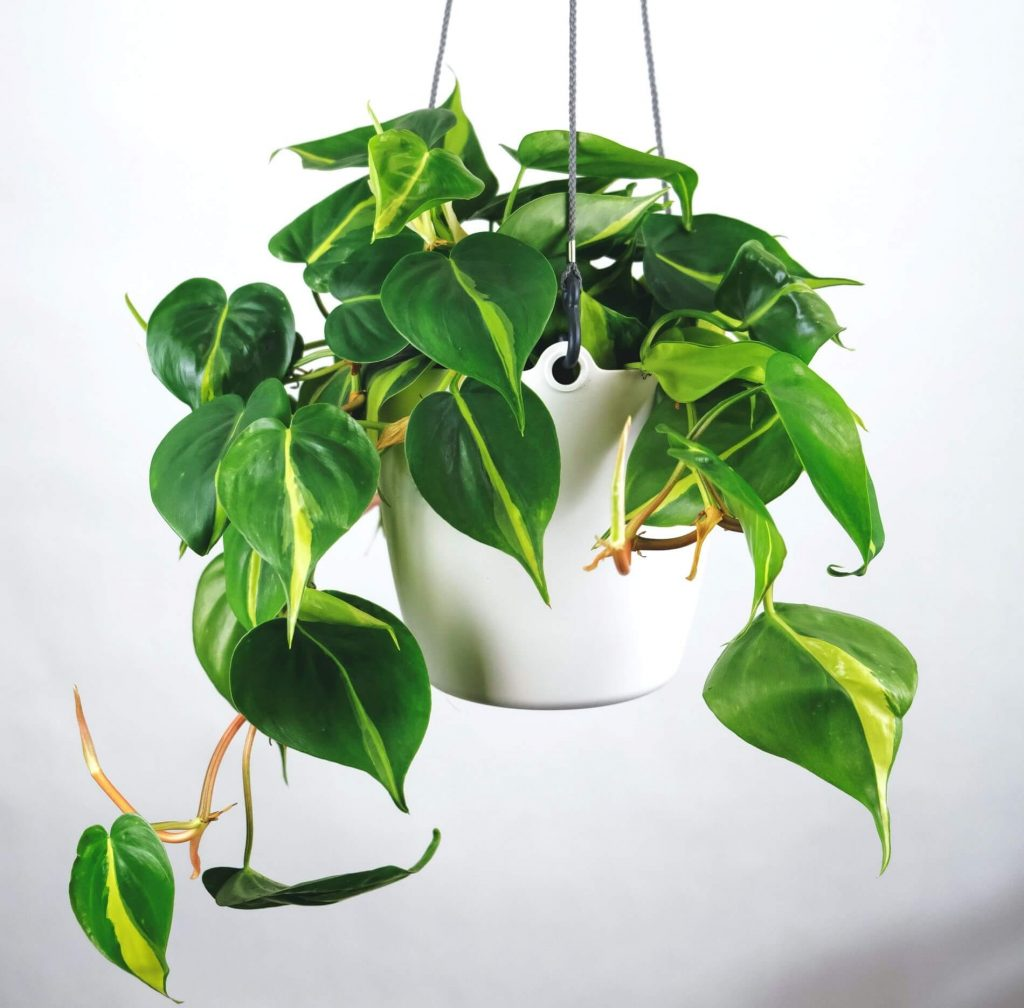 Heartleaf Philodendron Plant Care