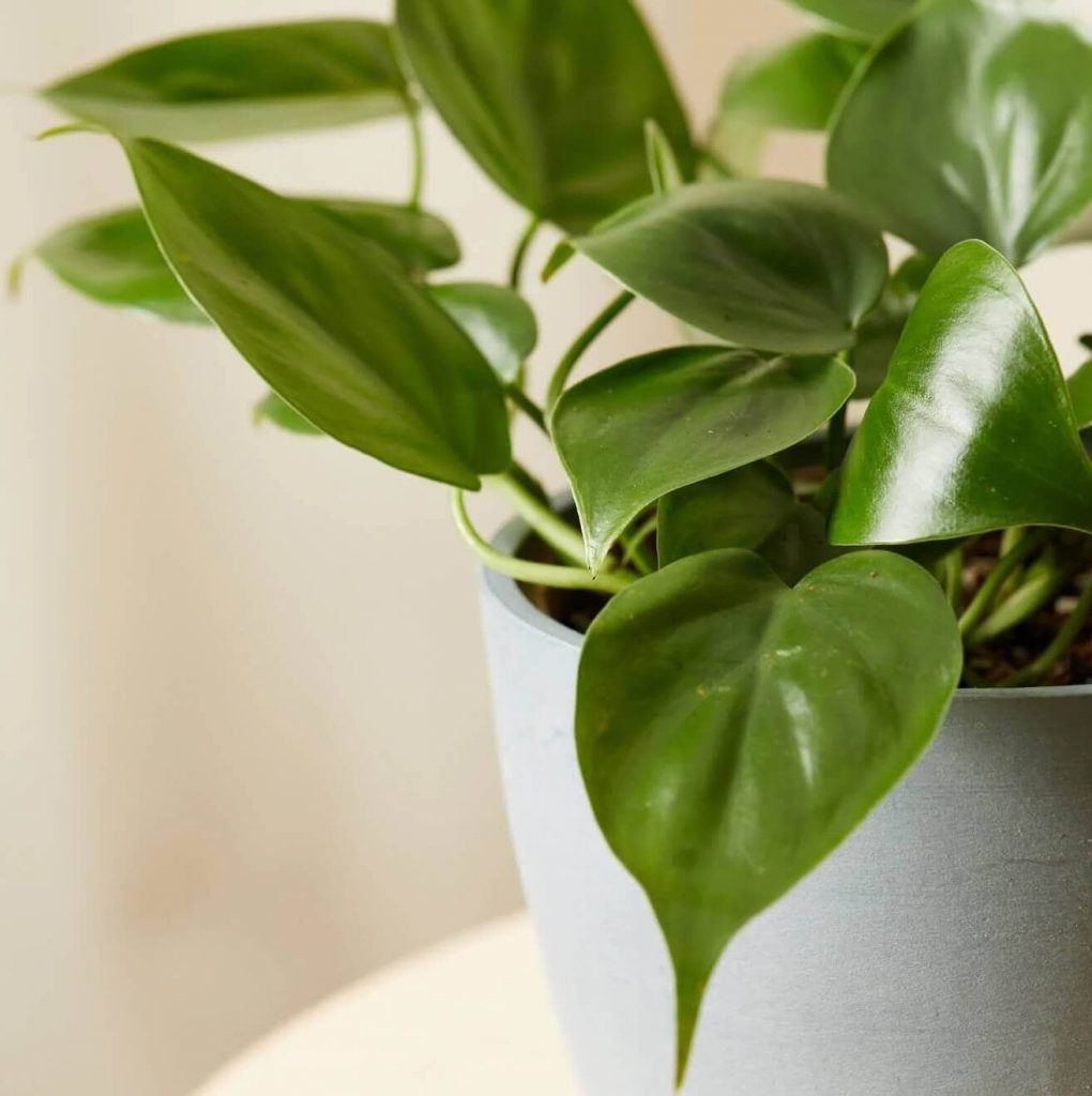 Heartleaf-Philodendron-Plants-for-Sale-at-Bloomscape