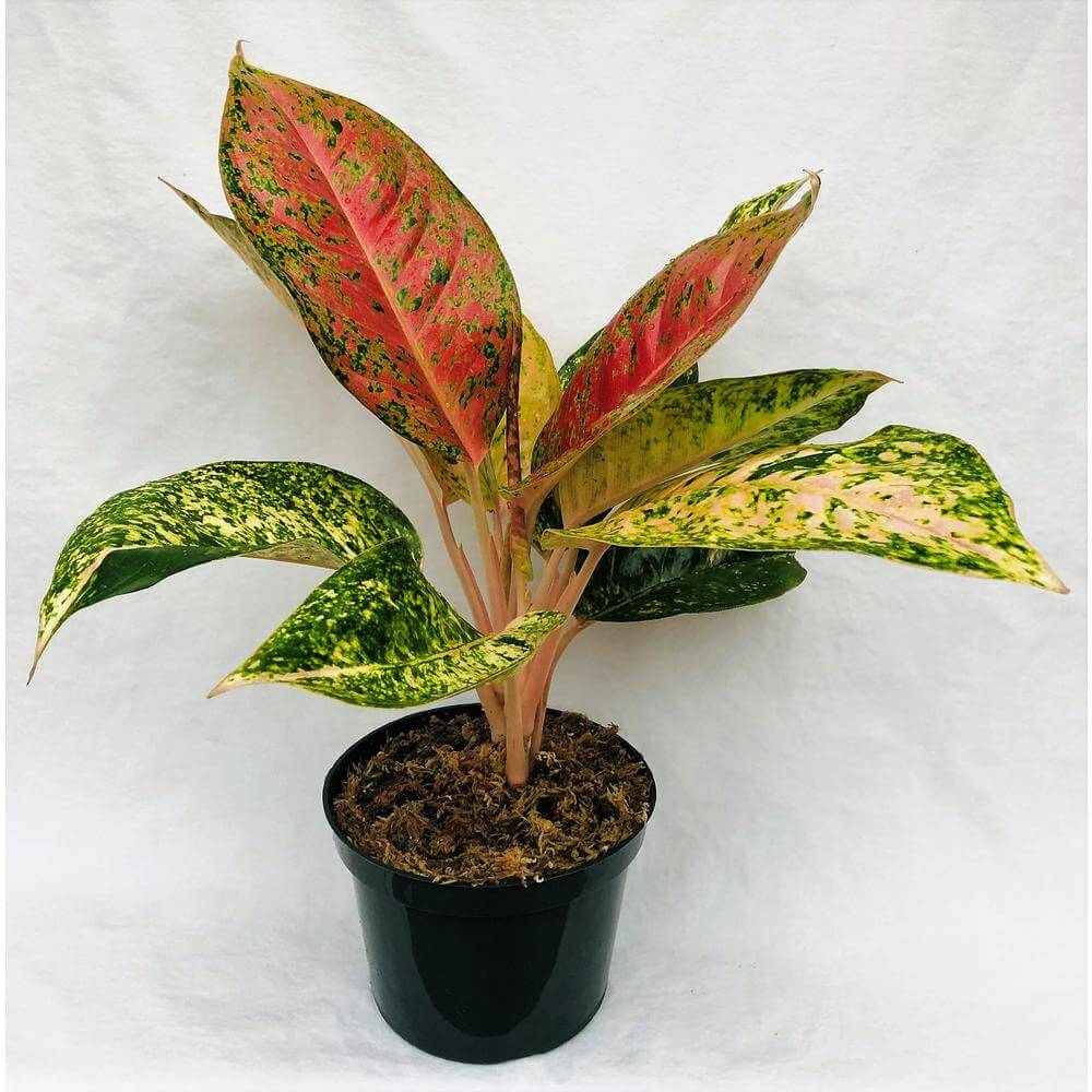 Home Depot Red Aglaonema plants for sale