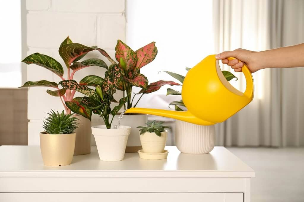 How to Care for Chinese Evergreen Plants