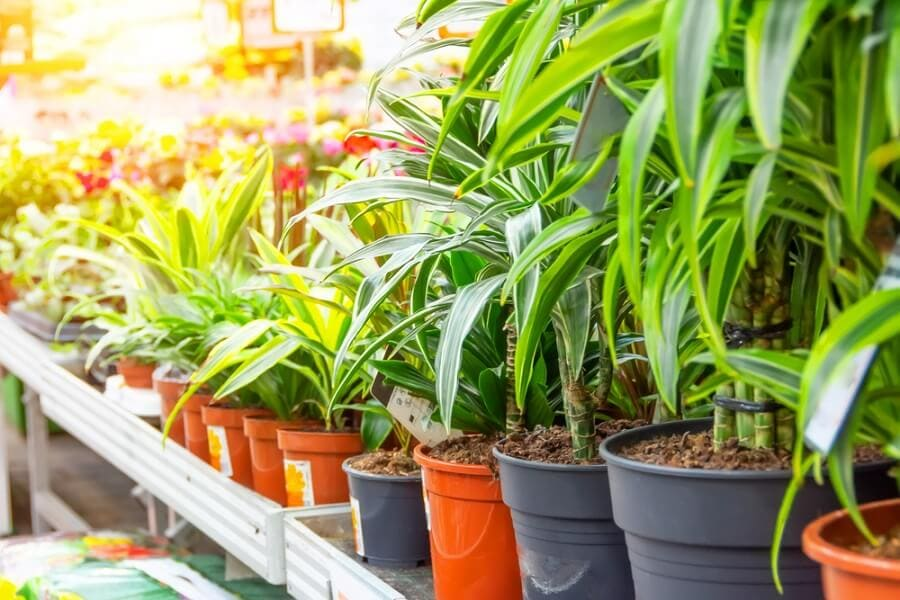 How to Care for Dracaena Plants at Home
