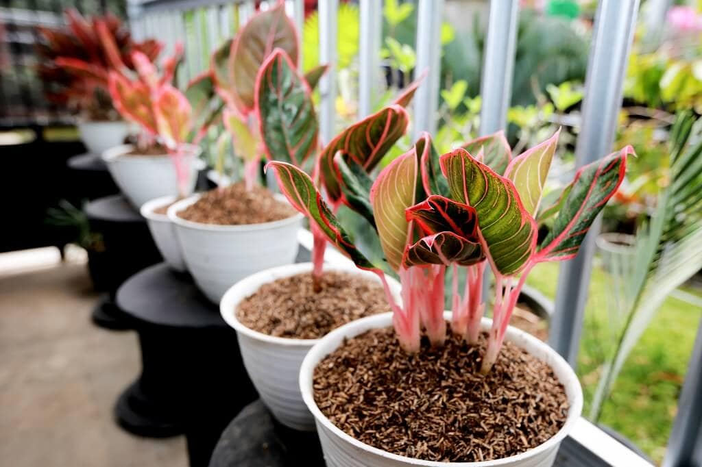 How to Grow Chinese Evergreen Plants at Home (Aglaonema)
