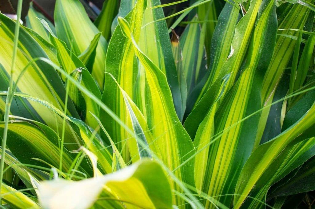 How to Grow Corn Plants