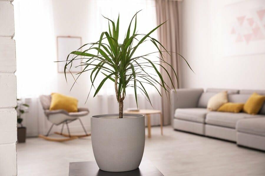 How to Grow Dracaena Plants at Home