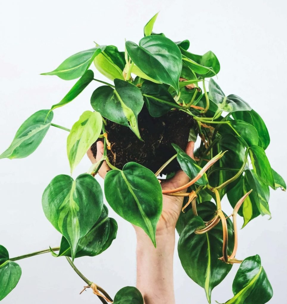 How to Grow Heartleaf Philodendrons at Home