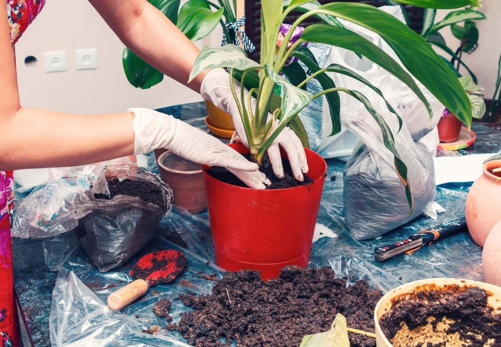 How to Repot Chinese Evergreen Plants at Home