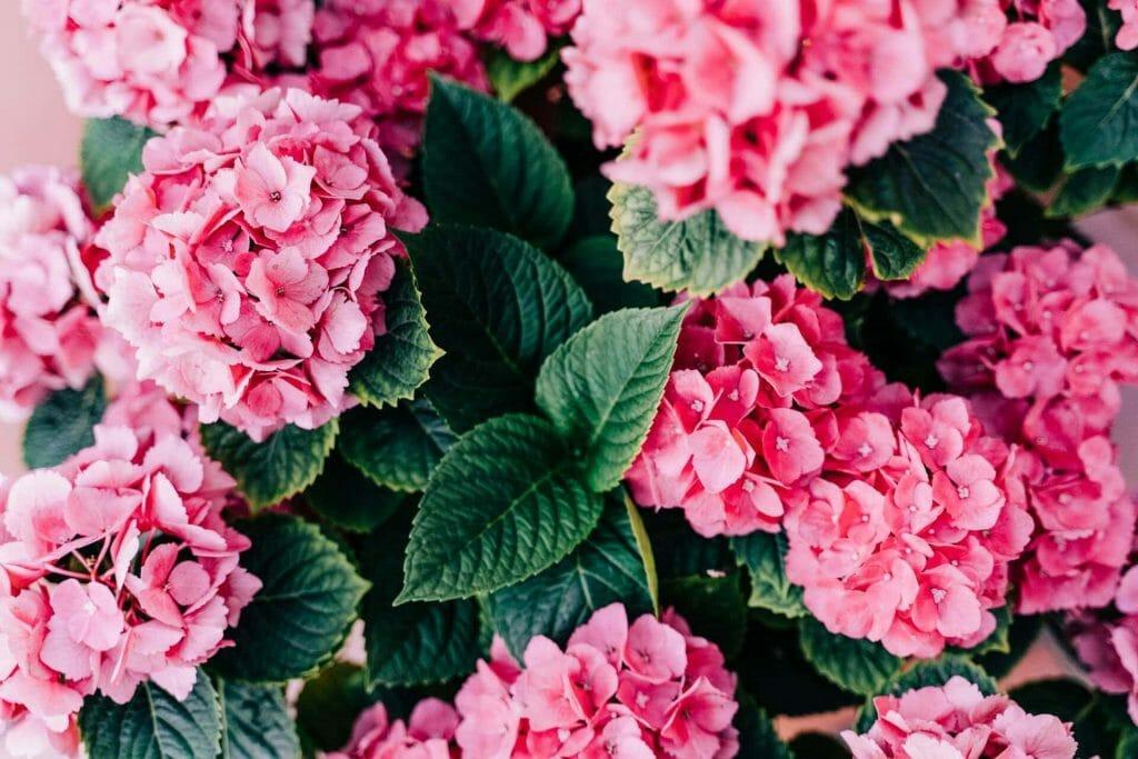 Hydrangea Flower Etymology