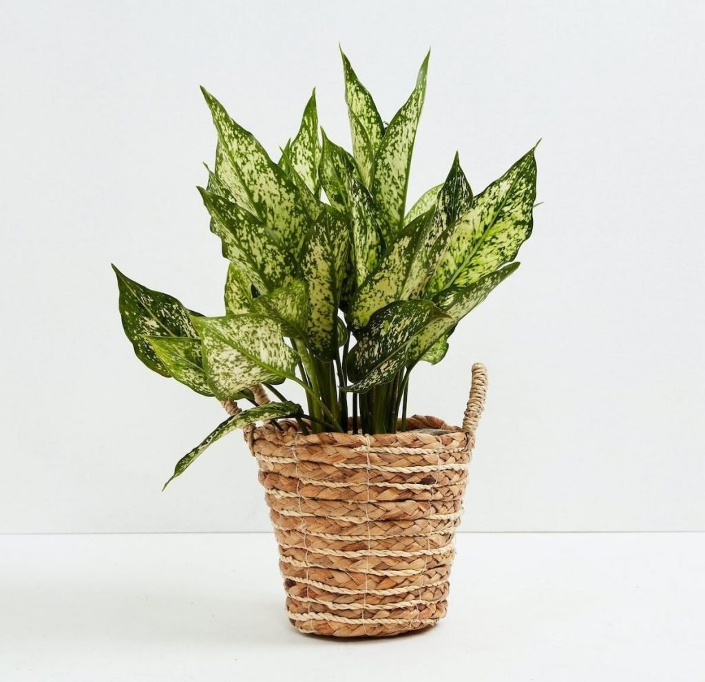 Lively Root Chinese Evergreen Plants for sale in the USA