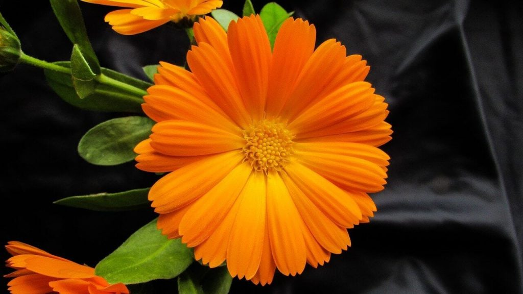 Orange Marigold Flower Meaning