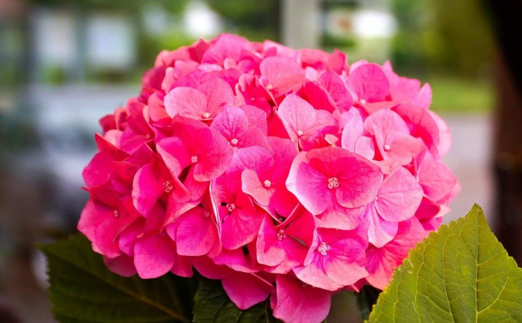 Pink Hydrangea Flower Meaning and Symbolism