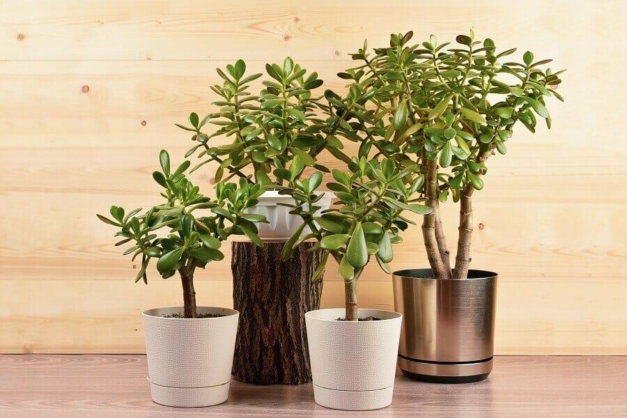 Popular Jade Plant Cultivars