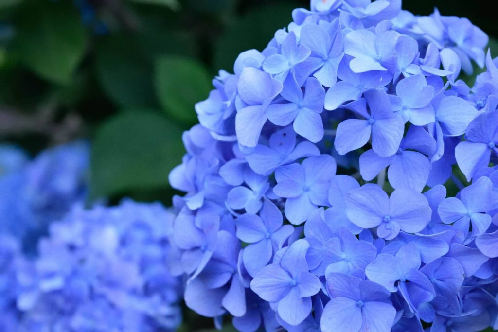 Purple Hydrangea Flower Meaning and Symbolism