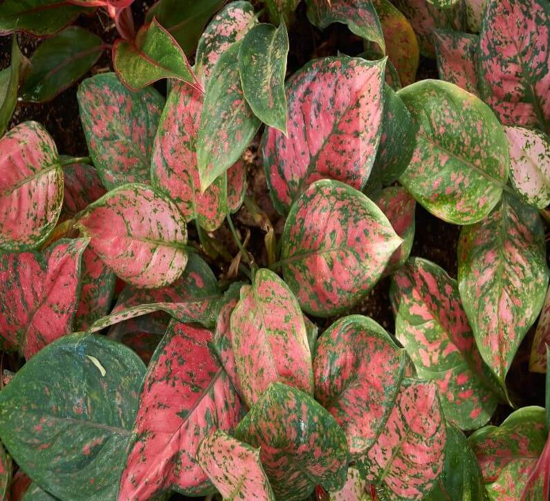 Red Chinese Evergreen Plant Delivery at Brighter Blooms