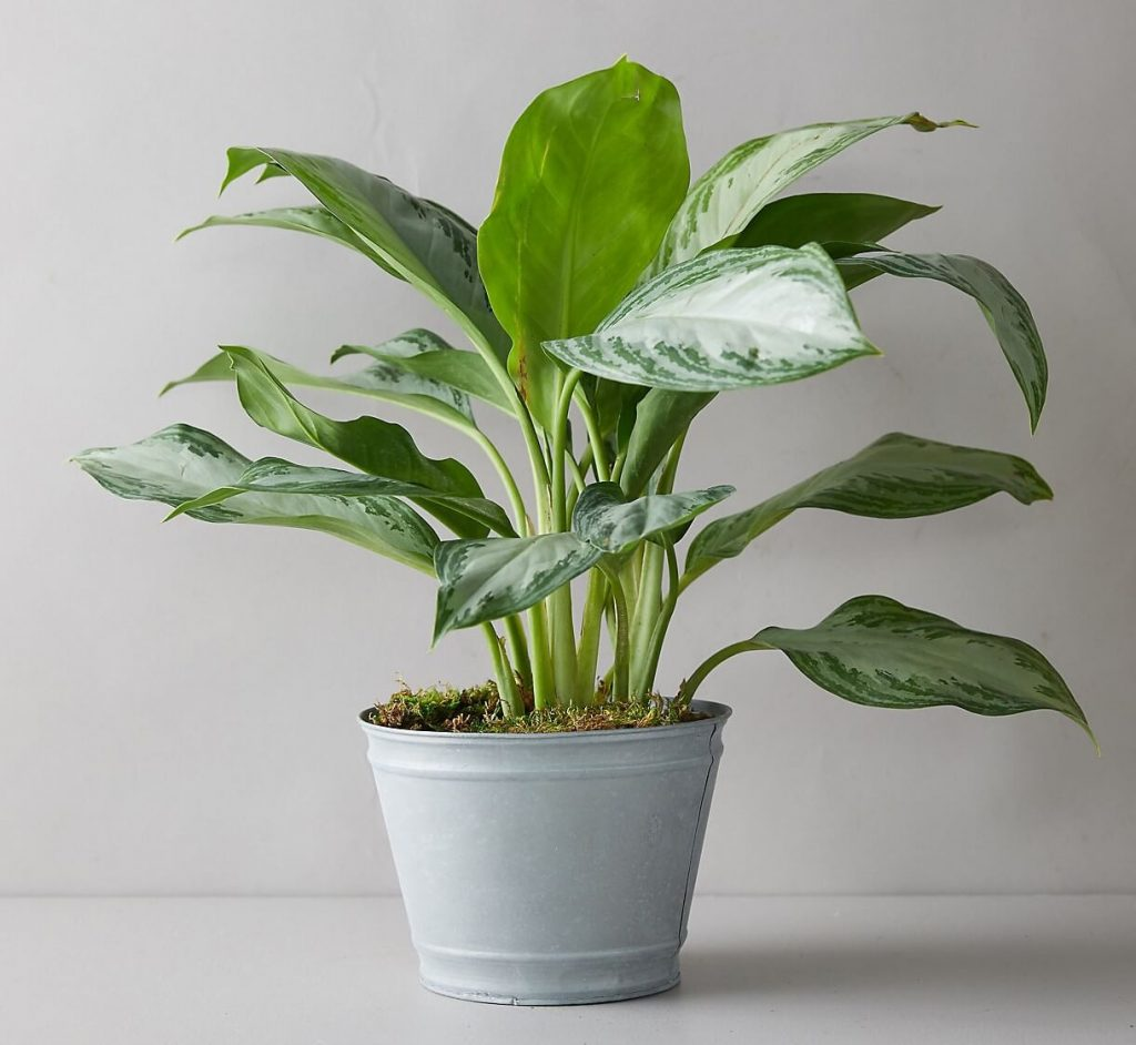 Terrain-Silver-Bay-Chinese-Evergreen-Plants-for-Sale