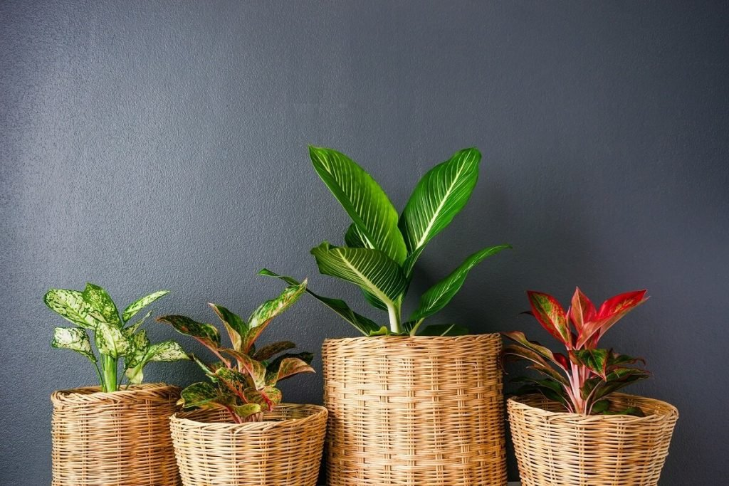 The Ultimate Guide to Chinese Evergren Plant Care (Aglaonema)