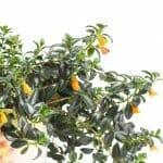 Ultimate Guide to Goldfish Plant Care (Columnea gloriosa)