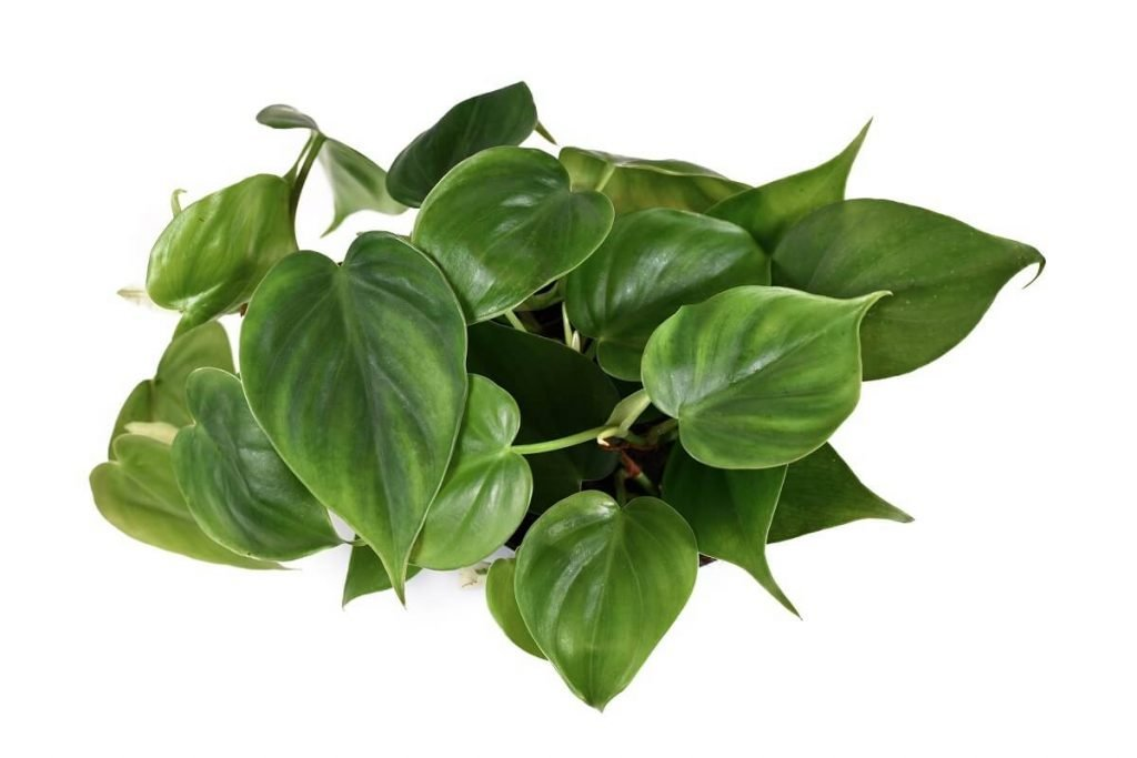 Ultimate Guide to Heartleaf Philodendron Plant Care at Home