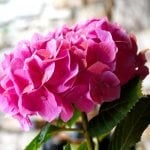 Ultimate Guide to Hydrangea Flower Meaning and Symbolism