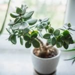 Ultimate Guide to Jade Plant Care at Home