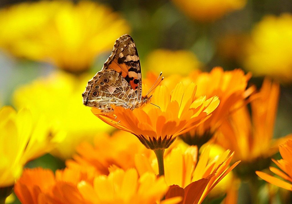 Ultimate Guide to Marigold Meaning and Symbolism