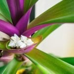 Ultimate Guide to Moses in the Cradle (Tradescantia spathacea)