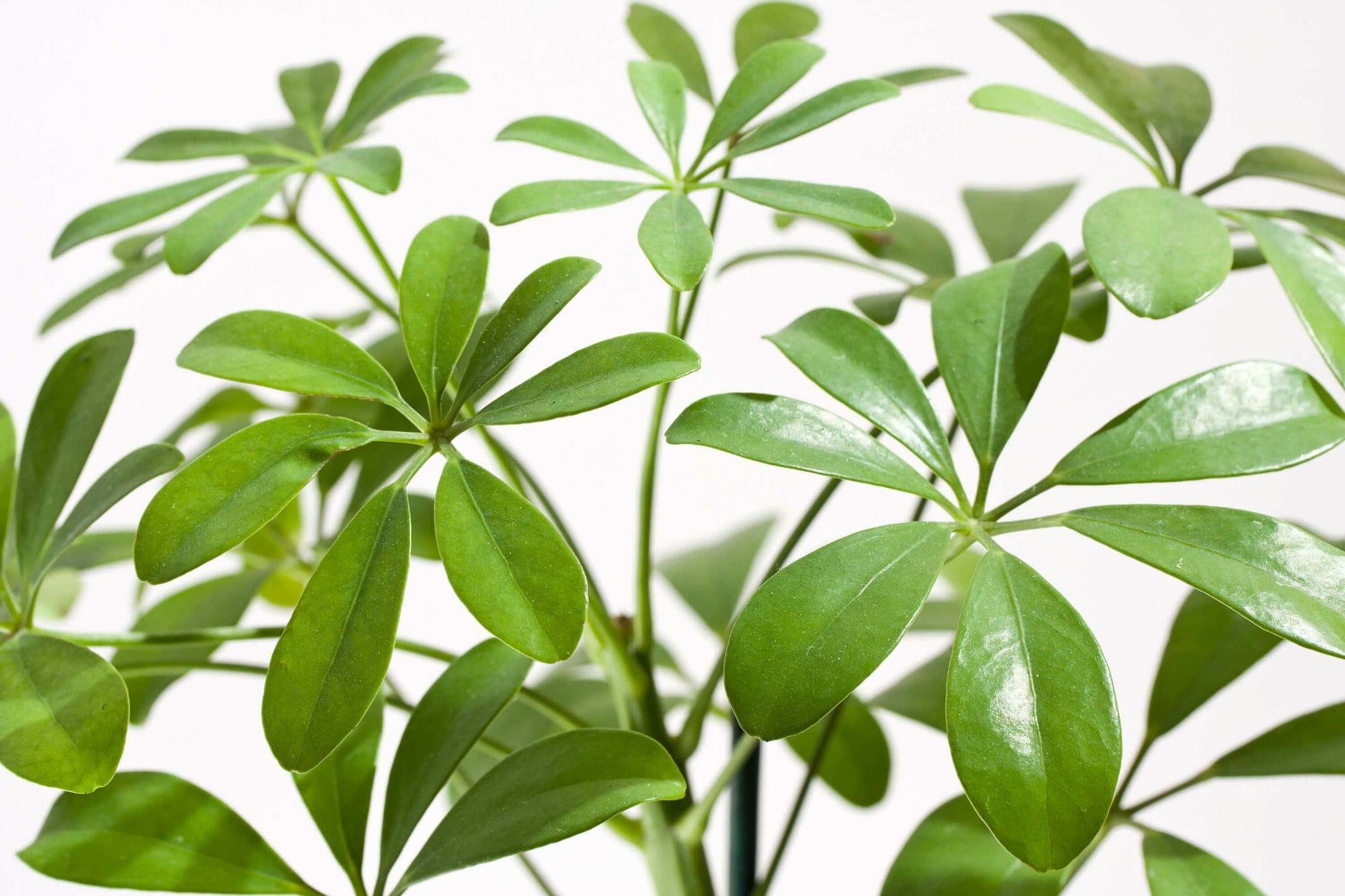Ultimate Guide to Umbrella Plant Care at Home (Schefflera)