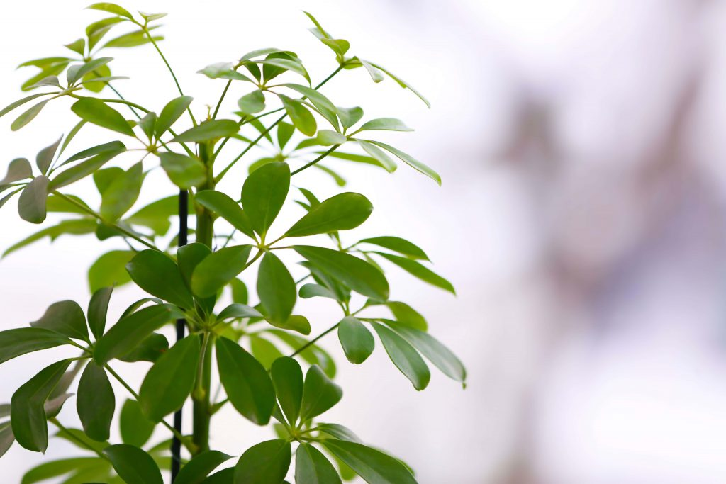 Umbrella Plant Care at Home