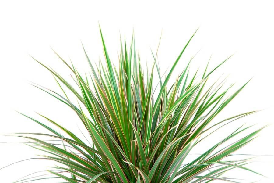 Uses and Benefits of Dracaena Plants