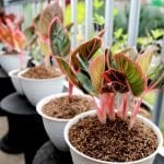 Where to find the best Chinese Evergreen Plants for sale in the USA (Aglaonema)