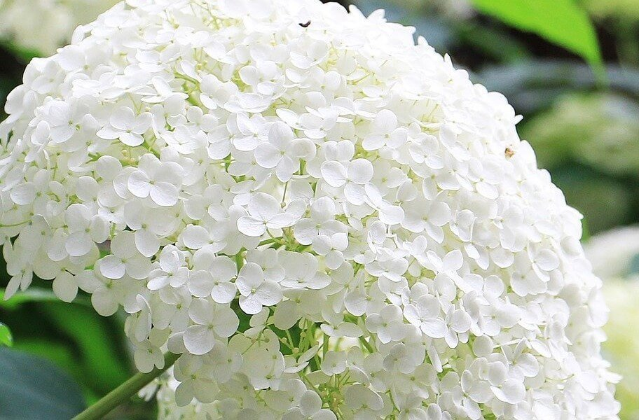 White Hydrangea Flower Meaning and Symbolism