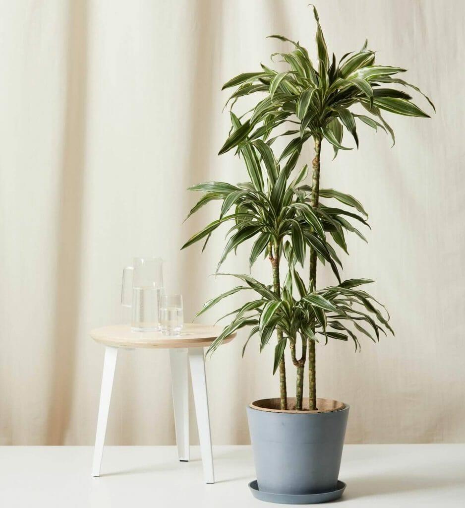 bloomscape dracaena warneckii for sale