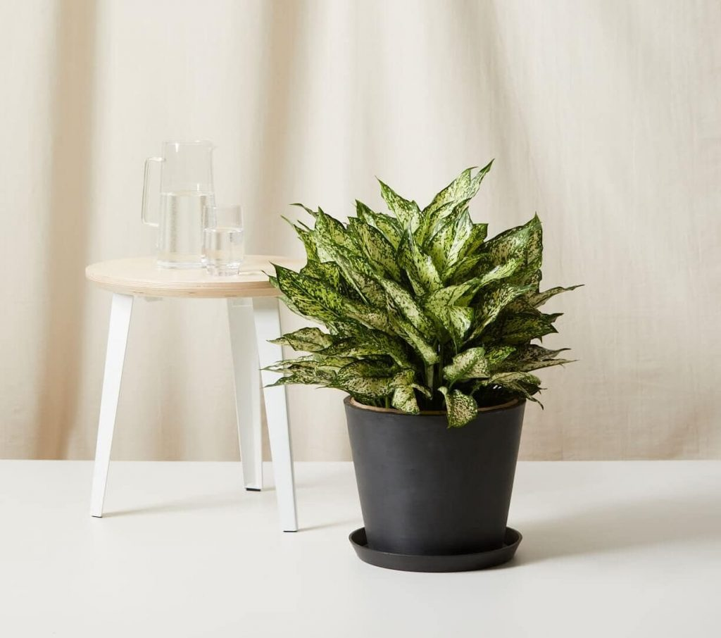 bloomscape spring snow aglaonema delivery in the USA
