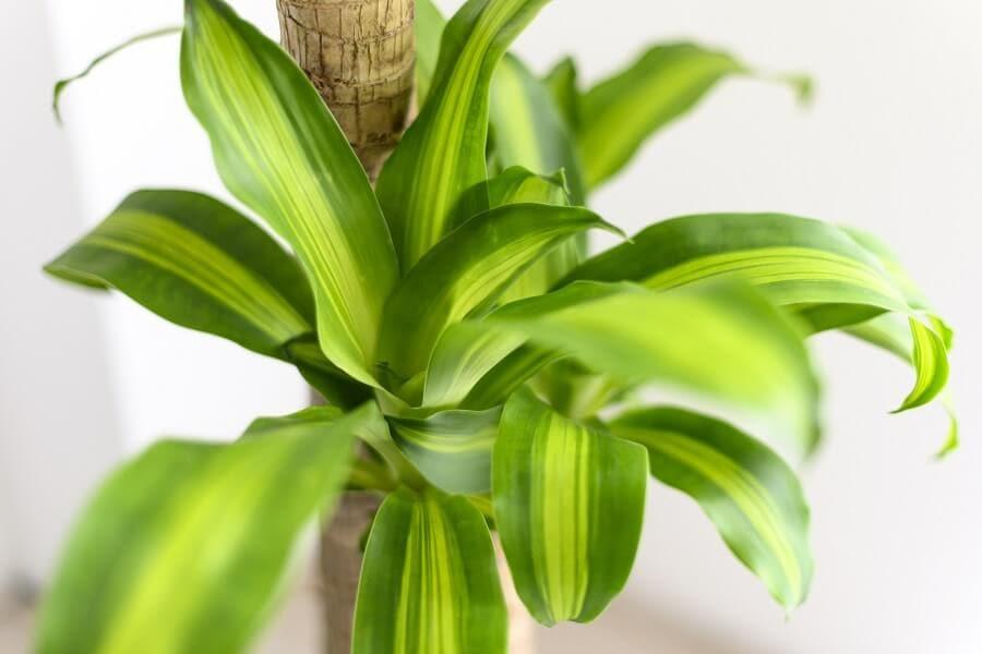 dracaena fragrans plants
