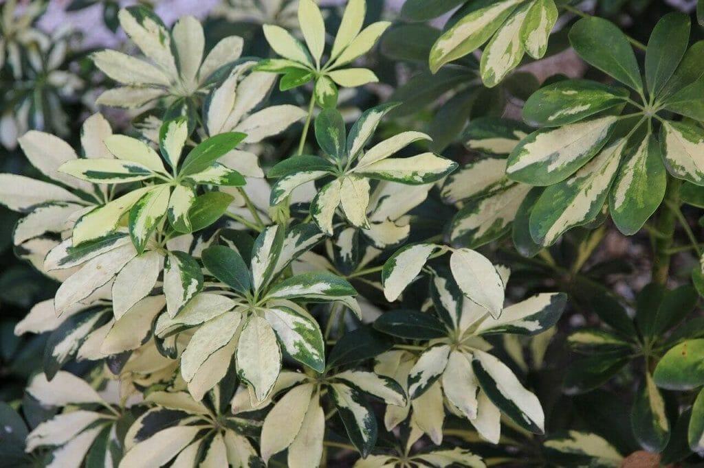 schefflera plant meaning and symbolism